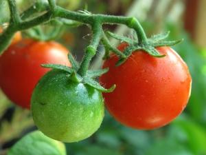 Pěstování cherry rajčat